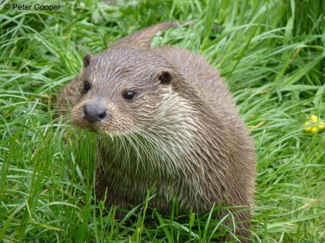 http://www.rsb.org.uk/images/Otter.jpg