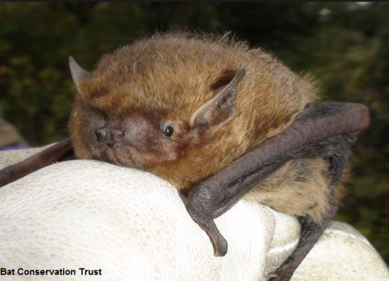soprano pipistrelle a love song in the key of 55khz royal society