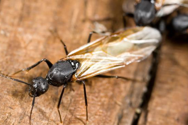Years Of Surprises From Flying Ants Royal Society Of Biology Blog