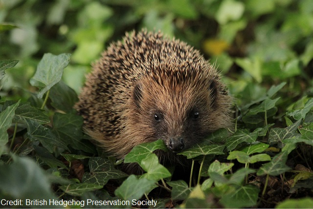http://www.rsb.org.uk/images/hedgehog.jpg