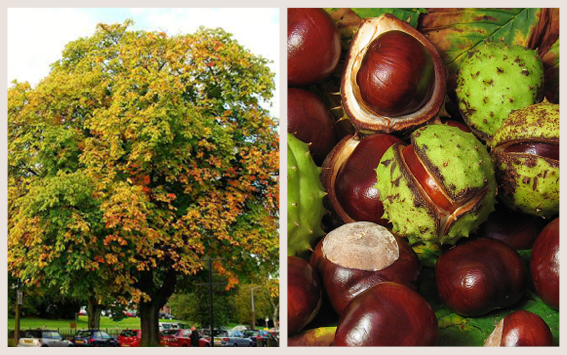 buy popular 387c7 5035f The Horse Chestnut tree, also known as the Conker Tree, was first  introduced to the UK in the 16th century, and has since become a well-known  feature of ...