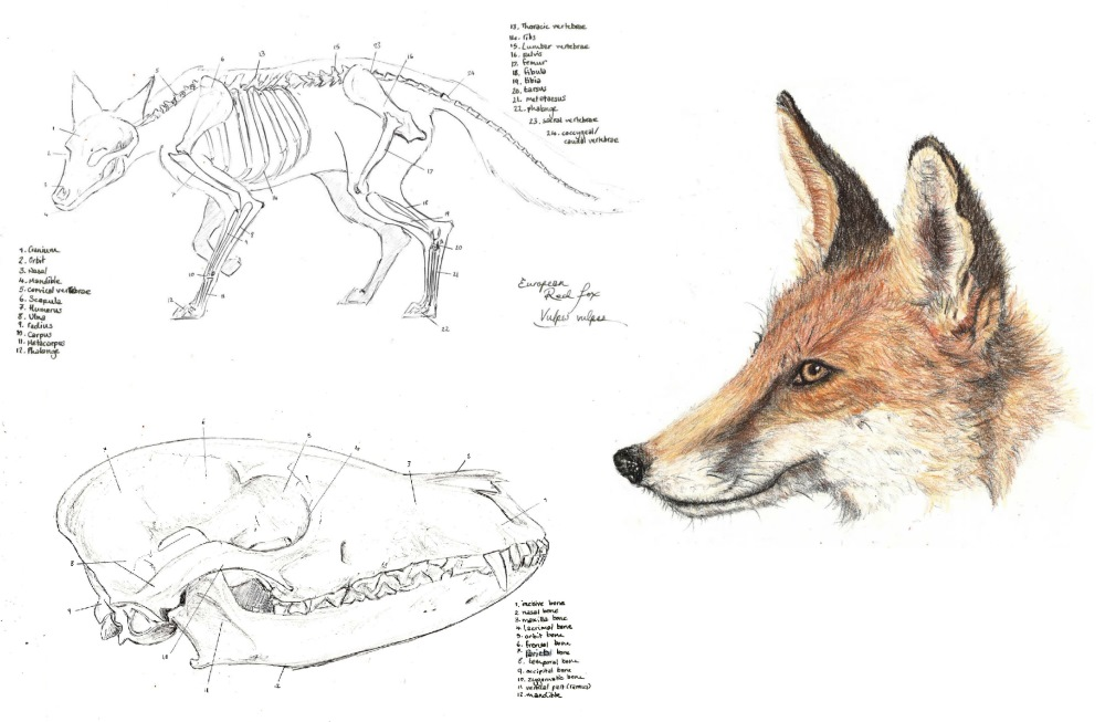 Red Fox Wins Nancy Rothwell Award For Specimen Drawing