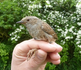East midlands - Dunnock in Donnas hand