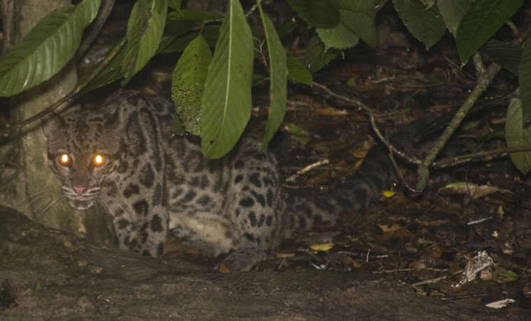 Borneo clouded leopard hompage