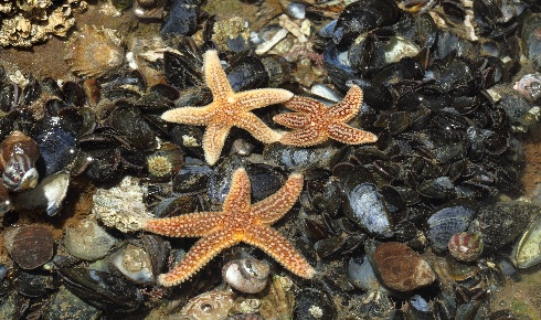 starfish on mussels trewhella