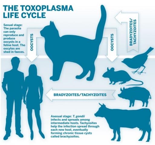 toxoplasmosis tünet