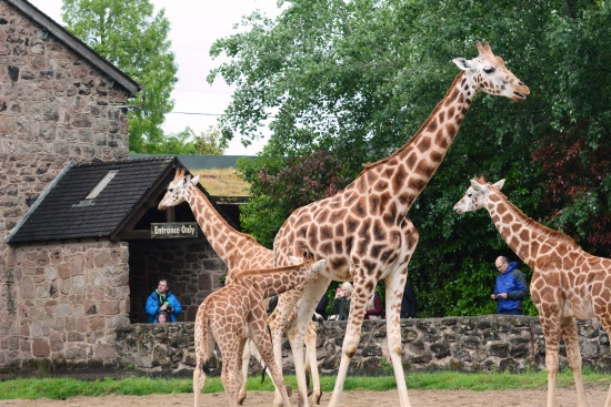 North West Giraffe