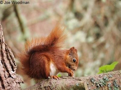 https://www.rsb.org.uk/images/squirrel-joe.jpg
