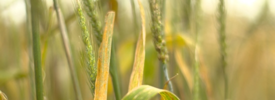 yellow rust on leaf banner1
